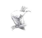 素描教程-鹦鹉