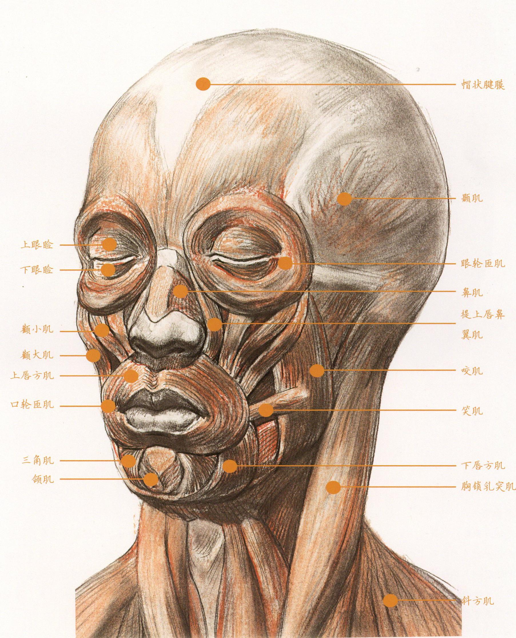 素描 面部肌肉分布你都不了解,怎么可能头像画的好呢?