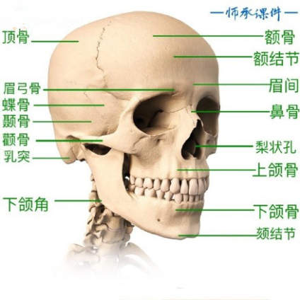 【考前美术小课堂!】头骨的解剖结构知识是素描人像必学的基础,三庭五眼是皮相的知识,眉弓、颧骨
